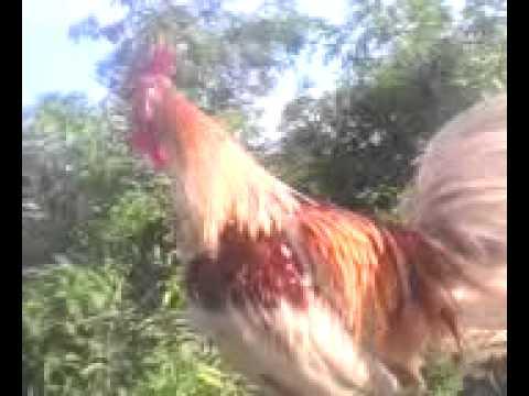 Ayam Ketawa (Dangdut)