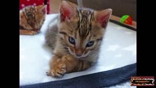 A photo- album of a Bengal kitten.