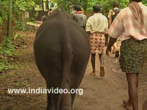 Out for a walk - baby elephants at Kodanad
