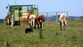 Concours de chiens de troupeaux