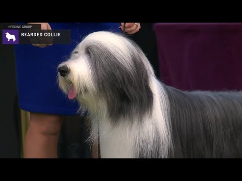 Bearded Collies | Breed Judging 2020