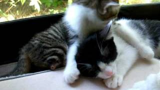 両後ろ足のない子猫のあさりが我が家に来て10日。やんちゃ小僧のごま...