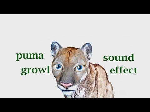 black puma noises