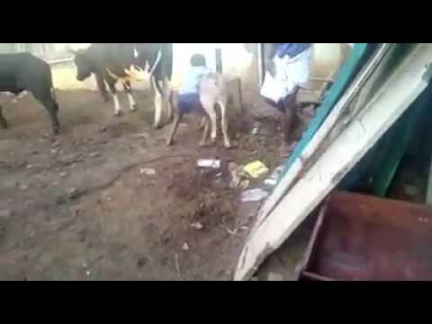 Jallikattu training to two future bulls - ஜல்லிக்கட்டு பயிற்சி