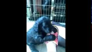 Sproodle Puppies Playing