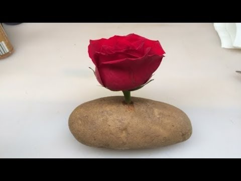 Put A Rose Cutting In A Potato And Watch It GROW!!!