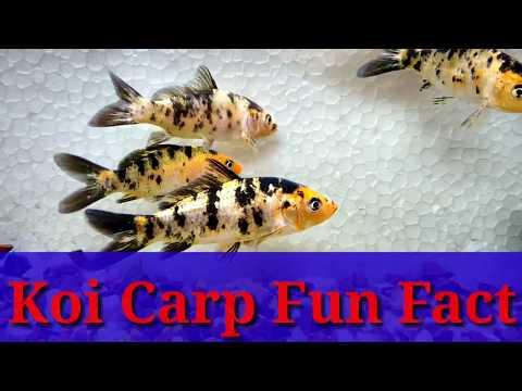 Koi Carp Fun Fact