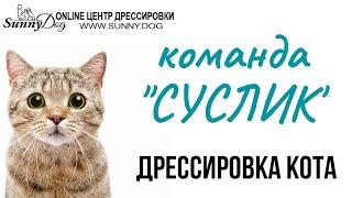 """Как дрессировать кота в домашних условия? Команда """"суслик"""". Маленький фрагмент занятий)"""