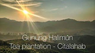 Gunung Halimun - Tea plantation