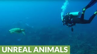 Endangered sea turtle appears from the deep to examine diver