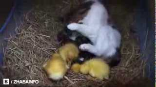 Кошка приняла утят как своих котят
