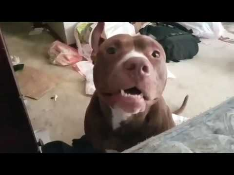 Adorable Pitbull Crying To Wake Up Owner