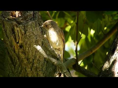 Madárhangok: Szürke légykapó /Muscicapa striata/Spotted flycatcher
