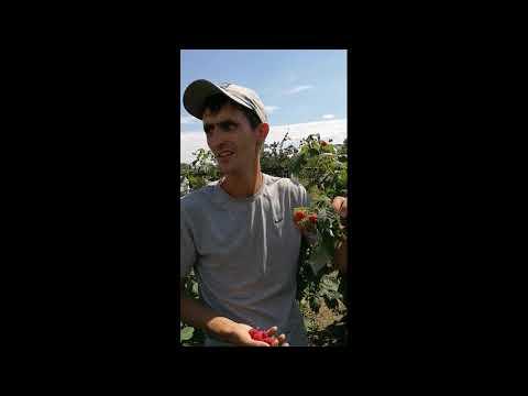 Уборка малины сорта Полана обзор  на 02 .08 .2020 г
