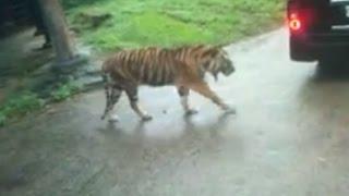 jalan- jalan di taman safari puncak bogor lihat banteng dan harimau