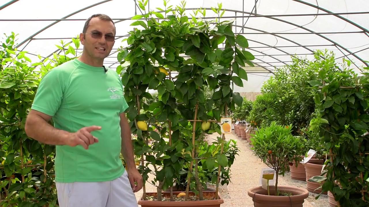Potatura Limone: come potare il limone | Giardinaggio Pratico