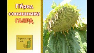 Подсолнечник Гаярд  🌻, описание гибрида 🌻 - семена в Украине