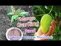 Mango V Grafting Technique Faster (Garden Home)