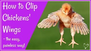 Clipping chicken wings the easy, painless way.