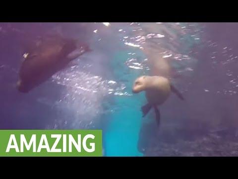 Fearless sea lions frolic among scuba divers