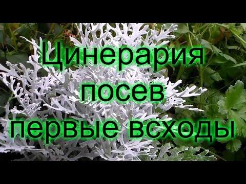 Цинерария - посев семян, первые всходы