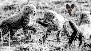 Gambar cover Baby Cheetahs Get Too Close to Film