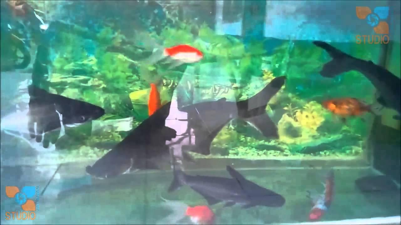 Ikan Patin Dan Koi Aquarium Youtube
