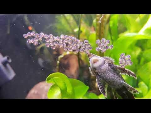 Royal Farlowella Catfish Eggs Update
