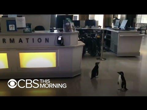 Penguins wander empty