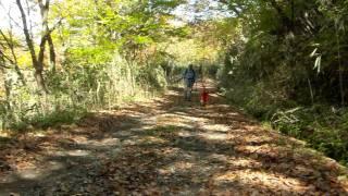 落葉の大船林道を歩くアイリッシュセターのティナ.