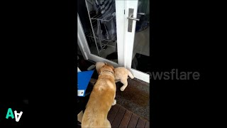 Dog Struggles to Enter Home with her Toy