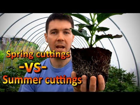 Hydrangea Rooted Cuttings Comparison - Spring vs Late Summer Propagation - 동영상