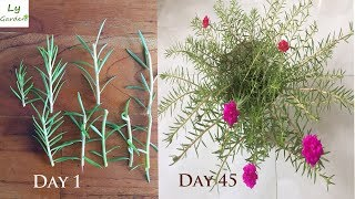 How to grow Table Rose Moss Rose Portulaca Grandiflora from  CUTT NGS