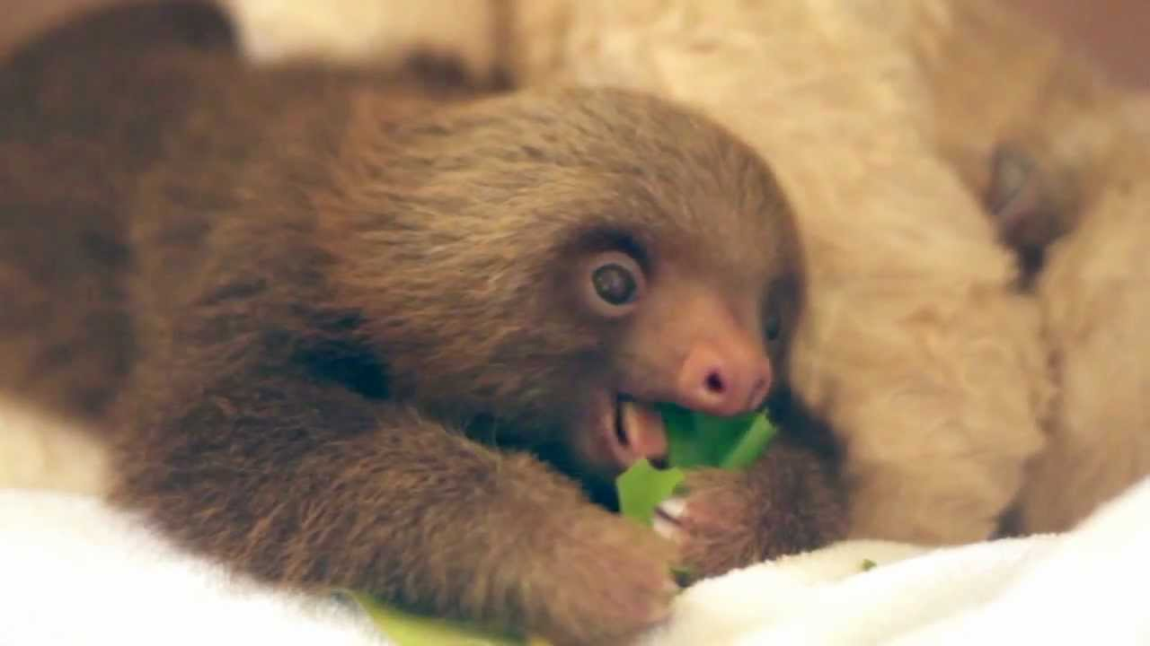 A Baby Sloth Eating an Almond Leaf - YouTube Baby Sloths