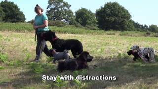 Indie - Newfoundland Puppy - 14 Day Dog Boot Camp At Adolescent Dogs Uk