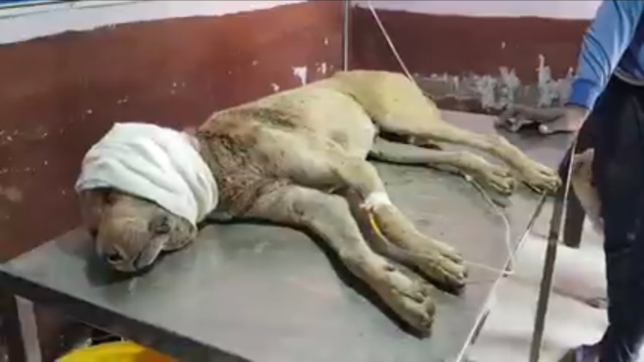 The Poor Dog who was found with a big crane infection and was so weak