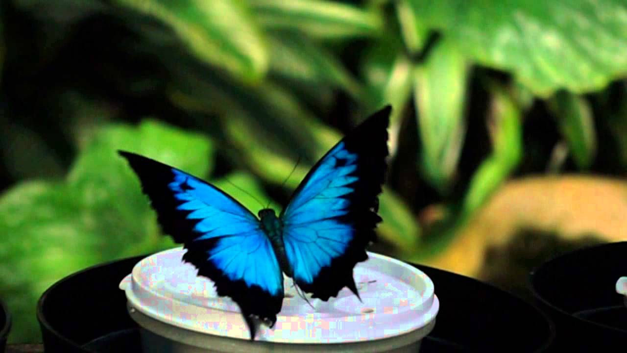 Ulysses Butterfly Slo-mo Ulysses butterf...