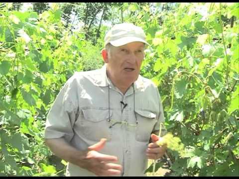 О выращивании винограда