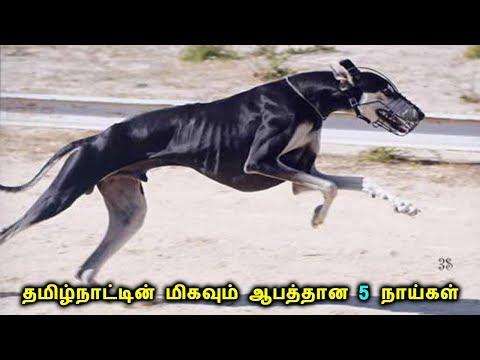 தமிழ்நாட்டின் மிகவும் ஆபத்தான 5 நாய்கள் | Top 5 Dangerous Dogs in Tamil Nadu | Tamil