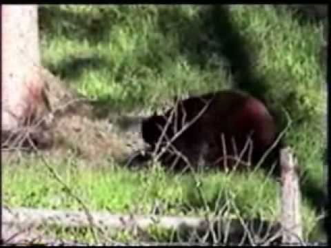 Black Bears Mating in Yellowstone