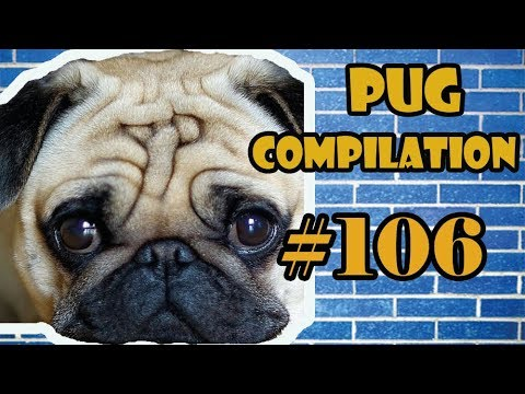 Pug Compilation 106  - Funny Dogs but only Pug Videos | Instapugs