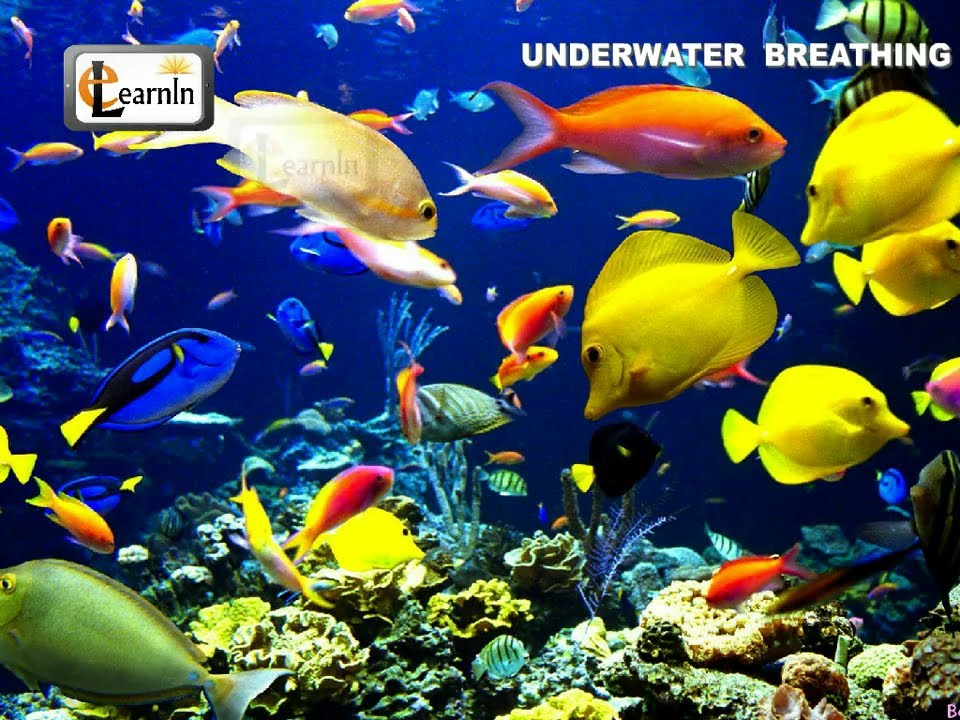 Underwater breathing in animals elementary science youtube for How do fish breathe underwater