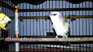 Download Video Memancing Trucuk PASTI LANGSUNG BUNYI, Trucuk King Cobra, Masteran Trucukan Juara MP3 3GP MP4