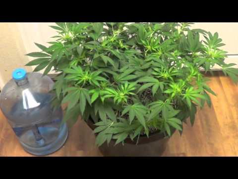 """Cannabis """"Grow for Broke"""" Week #2 of flower"""