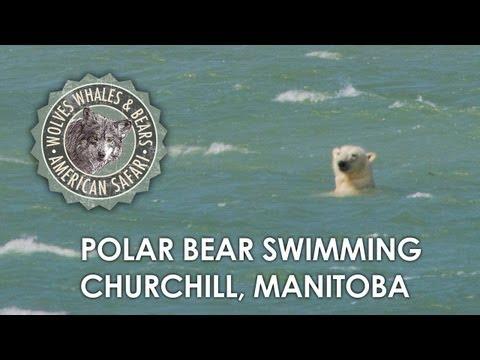 Polar Bear Swimming in Hudson Bay, Churchill Manitoba