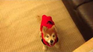 Sweetface A Super Cute Pomeranian and Shiba Inu Mix Jumping with joy!
