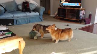 Corgi & Swedish Vallhund Play 2
