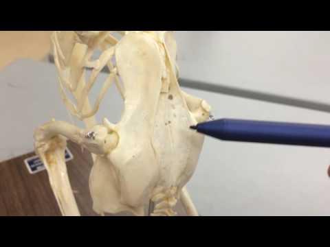 Avian Skeleton