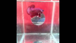 ikan cupang giant
