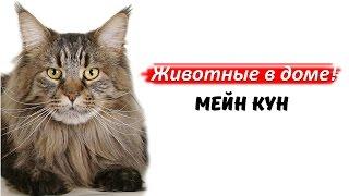 Мейн кун - породы кошек.